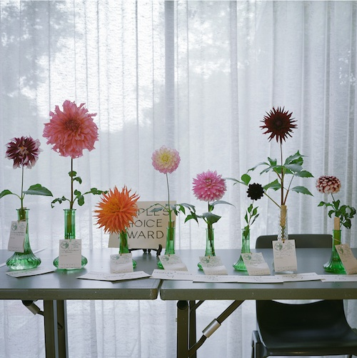 Sinclair_dahlias